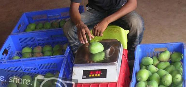 Alphonso Mango Weighing