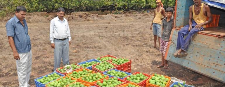 Alphonso Mango Grades